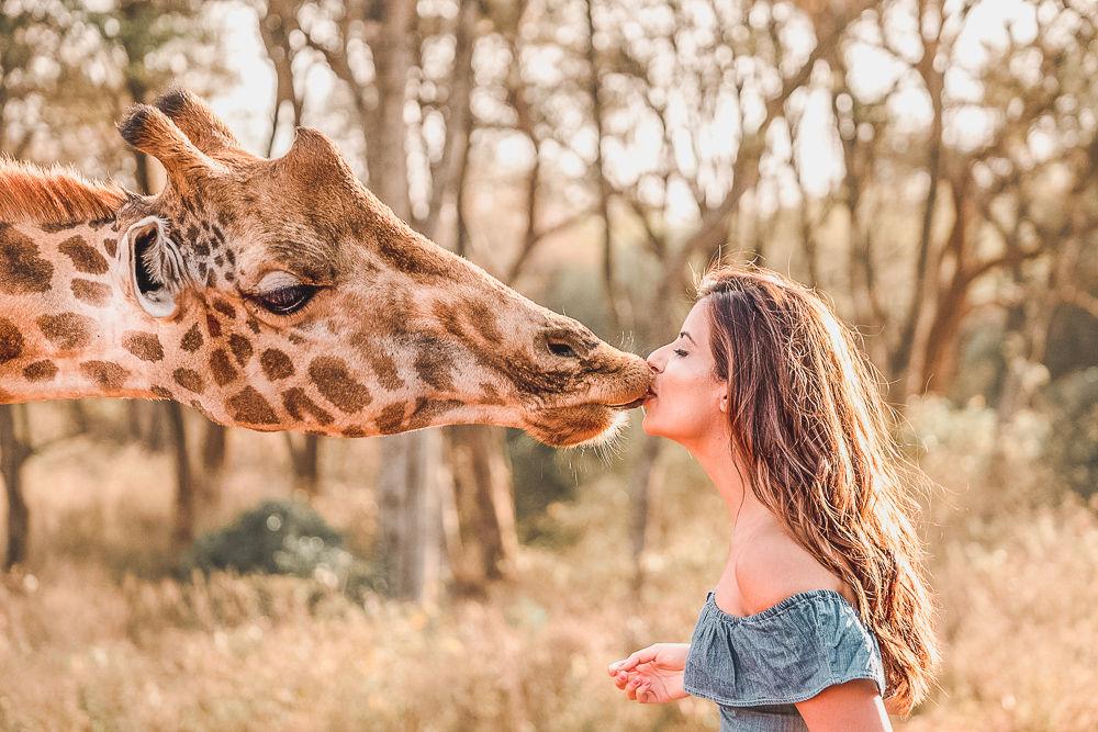 Kissing Giraffe in Kenya