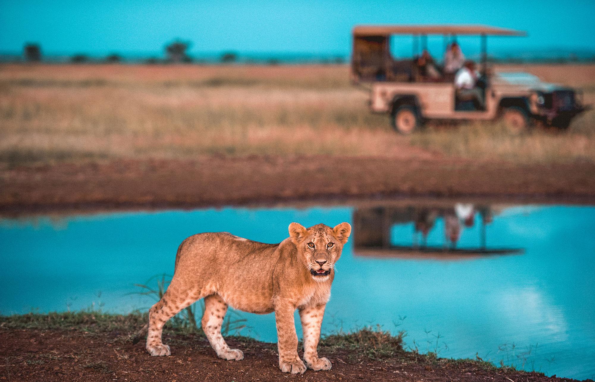 lion cub at water on safari