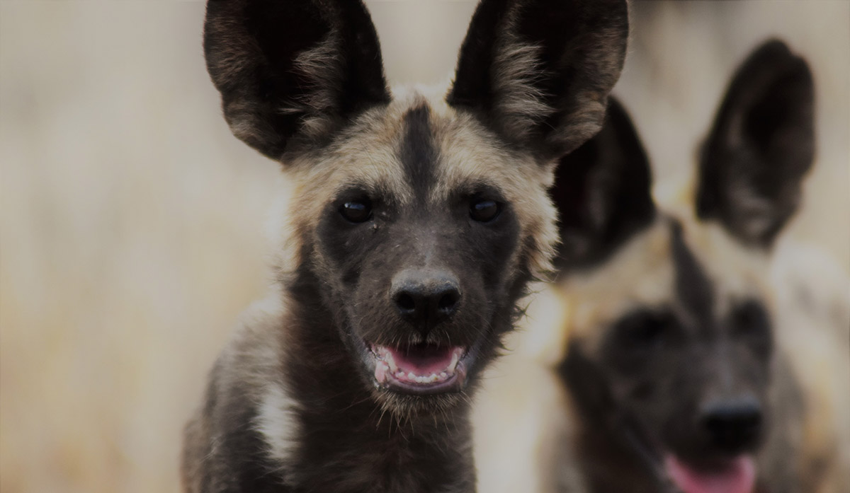 Walk with wild dogs in Kenya